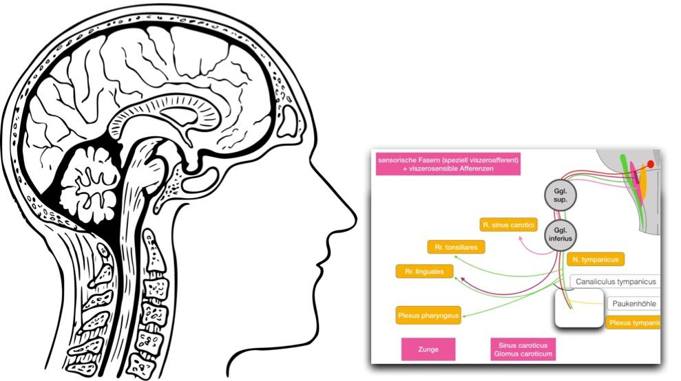 Nervus glossopharyngeus - Sensorische, viszerosensible Afferenzen ...